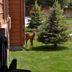 baby-elk
