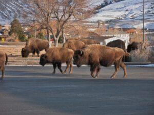 yvi-buffalo